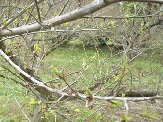 南高梅の実もかすかに膨らみ始めたよ